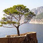 Baum auf Hvar