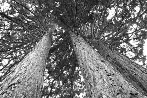 Mammutbäume im Schönbuch