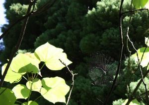 Spinne  im Tulpenbaum